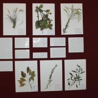 26 сентября 2018 года в Национальном музее Республики Башкортостан открылась выставка «Зеленая чума XXI века. Инвазивные виды растений».